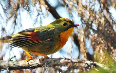 Bird Watching in Sichuan 13 Days